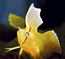 Golden Weedfish Cristiceps aurantiacus by Melissa Fiene