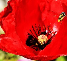 Bee landing on a poppy by Francesco Malpensi