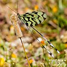 Grecian Streamertail 2 by Robert Abraham