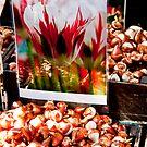 Giant Tulip bulbs by phil decocco