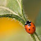 Lady Bug by AwaisYaqub
