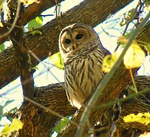 Barred Owl- Are you Looking for Me? by David  Hughes
