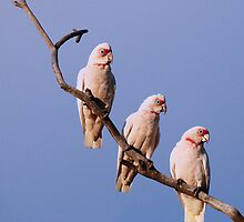 3 Corellas  by Cindy McDonald