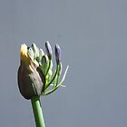 Agapanthus by fourthangel