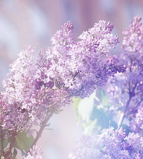 Lilacs in the Garden by ©Maria Medeiros
