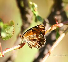 Side View Pearl Crescent Butterfly by Terry Aldhizer