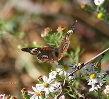 Buckeye Butterfly  by Terry Aldhizer