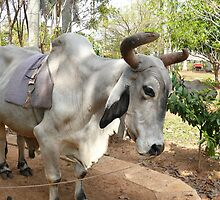 Oxen ready for a brave  tourist, Cuban farm by krista121