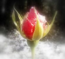 rosebud in the snow 4 by Dawna Morton