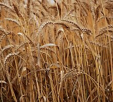Pleased To Wheat You by rossco