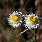 daisy daisy by Timana