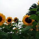 Sunflower Field by Karen Checca
