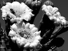 Saguaro Blooms in Black and White by Lucinda Walter