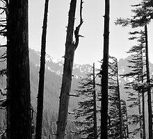 Through the Trees - Mt. Rainier National Park, WA by Britland Tracy