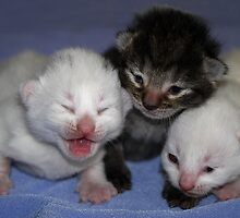 Kittens-One Week Old by SharonD
