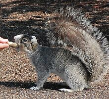 Dudley The Silver Fox Squirrel by imagetj