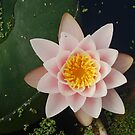 Water lilly by shakey