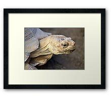 Sulcata Tortoise Framed Print