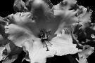 big sunny rhododendron blossom by dedmanshootn