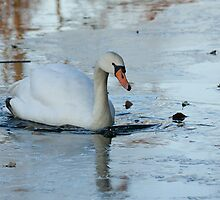 Wintry swan by Gill Langridge