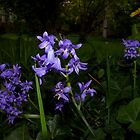 beautiful spotlit bluebells by dedmanshootn