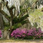 Live Oak Tree by Ellen McKnight