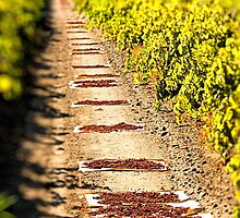 In the vineyards by MarthaBurns