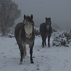 quantock ponies in the snow by David Ford Honeybeez photo