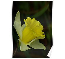 Yellow Daffodil  (Spring) Poster