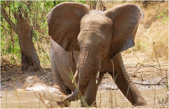 SERIES: # UPCLOSE AND PERSONAL WITH ELEPHANTS IN MAPUNGUBWE! by Magaret Meintjes