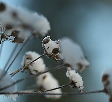 Cow's Parsley under Snow by YorkshireMonkey