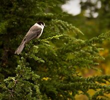 North American Gray Jay by Barb White