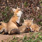 The Bird Watcher / Red Fox Kits by Gary Fairhead