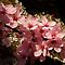 lichen ornamental cherry blossoms by dedmanshootn