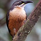 Victoria&#x27;s Riflebird (Female) taken at Paluma by Alwyn Simple