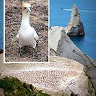 Gannets at Cape Kidnappers by Brenda Anderson