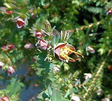 Darwinia Citriodora - Lemon scented Myrtle by elsha