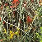 House Finch by Diana Graves Photography