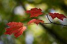 Rain on Fall Leaves - Dunrobin Ontario by Debbie Pinard