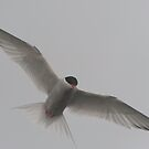 Wide Tern by Craig Goldsmith