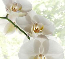 Beautiful white orchids by mike2048