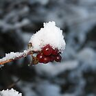 Red Berry - White Snow Cap by wjohnd
