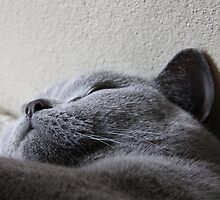 Sleeping cat by littlebiggphoto