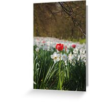 red tulip and white daffodils Greeting Card
