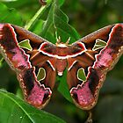 Rothschildia jacobaeae by Lepidoptera