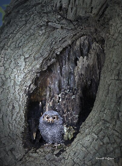 Baby Owl by Kenneth Hoffman