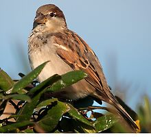 HOUSE SPARROW by imagetj
