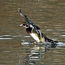 Wood Duck Splash Down by Chuck Gardner