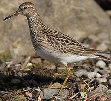 The Pectoral Sandpiper by DigitallyStill