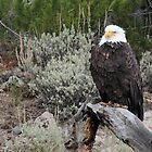 Bald Eagle in Yellowstone NP by Rob Lavoie